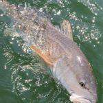 Redfish Fishing Charleston 101 llc 20191003_125338